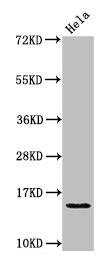 Western Blotting(WB) - HIST1H2AG (Ab-36) Antibody