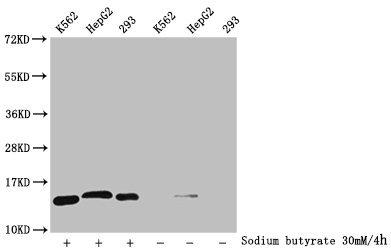 Western Blotting(WB) - 2-hydroxyisobutyryl-HIST1H2BC (K108) Antibody