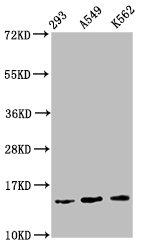 Western Blotting(WB) - HIST1H2BC (Ab-116) Antibody