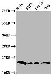 Western Blotting(WB) - Crotonyl-HIST1H2BC (K11) Antibody