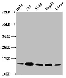 Western Blotting(WB) - HIST1H2BC (Ab-16) Antibody