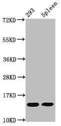 Western Blotting(WB) - HIST1H2BC (Ab-20) Antibody