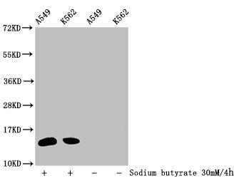 Western Blotting(WB) - 2-hydroxyisobutyryl-HIST1H2BC (K34) Antibody