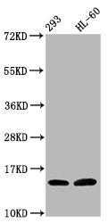 Western Blotting(WB) - Hydroxyl-HIST1H2BC (Y37) Antibody