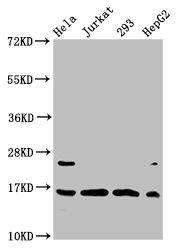 Western Blotting(WB) - Crotonyl-HIST1H3A (K4) Antibody