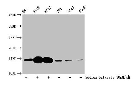 Western Blotting(WB) - 2-hydroxyisobutyryl-HIST1H3A (K4) Antibody