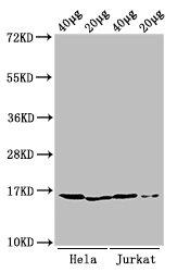 Western Blotting(WB) - Mono-methyl-HIST1H3A (K9) Antibody