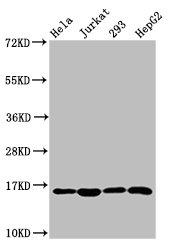 Western Blotting(WB) - HIST1H3A (Ab-10) Antibody