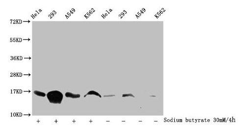 Western Blotting(WB) - Acetyl-HIST1H3A (K115) Antibody