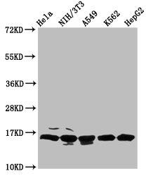 Western Blotting(WB) - HIST1H3A (Ab-122) Antibody