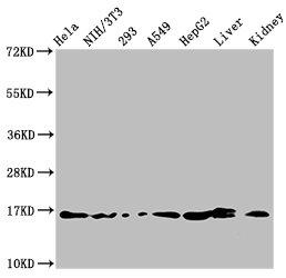 Western Blotting(WB) - HIST1H3A (Ab-18) Antibody