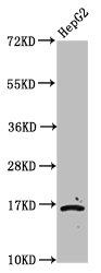 Western Blotting(WB) - 2-hydroxyisobutyryl-HIST1H3A (K23) Antibody