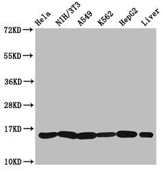Western Blotting(WB) - HIST1H3A (Ab-23) Antibody