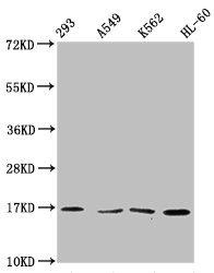 Western Blotting(WB) - Tri-methyl-HIST1H3A (K36) Antibody