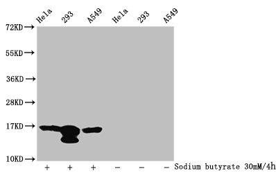 Western Blotting(WB) - Acetyl-HIST1H3A (K37) Antibody