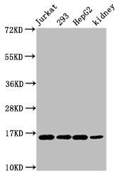 Western Blotting(WB) - HIST1H3A (Ab-45) Antibody
