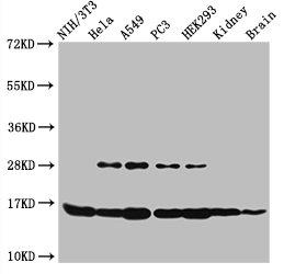 Western Blotting(WB) - HIST1H3A (Ab-4) Antibody