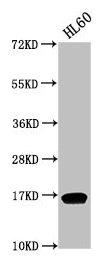 Western Blotting(WB) - Di-methyl-HIST1H3A (K9) Antibody