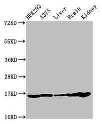 Western Blotting(WB) - HIST1H3A (Ab-9) Antibody