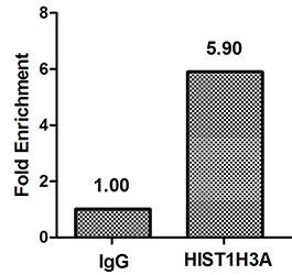 Chromatin Immunoprecipitation(ChIP) - HIST1H3A (Ab-17) Antibody