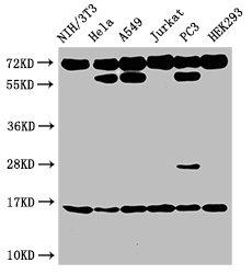 Western Blotting(WB) - HIST1H3A (Ab-27) Antibody