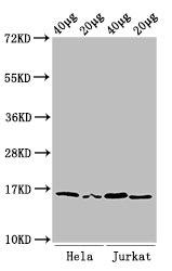 Western Blotting(WB) - Di-methyl-HIST1H3A (K36) Antibody