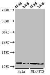 Western Blotting(WB) - Mono-methyl-HIST1H4A (R3) Antibody