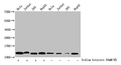 Western Blotting(WB) - Butyrly-HIST1H4A (K5) Antibody