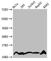 Western Blotting(WB) - Crotonyl-HIST1H4A (K5) Antibody
