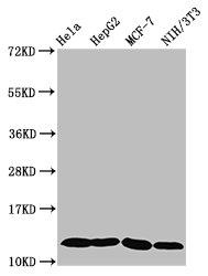 Western Blotting(WB) - HIST1H4A (Ab-5) Antibody