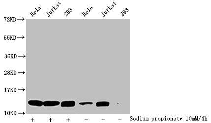 Western Blotting(WB) - Propionyl-HIST1H4A (K5) Antibody
