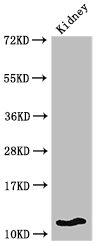 Western Blotting(WB) - HIST1H4A (Ab-8) Antibody