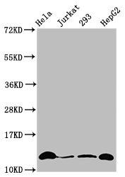 Western Blotting(WB) - Crotonyl-HIST1H4A (K12) Antibody