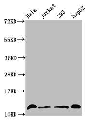 Western Blotting(WB) - Crotonyl-HIST1H4A (K16) Antibody