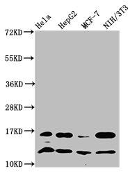 Western Blotting(WB) - HIST1H4A (Ab-31) Antibody