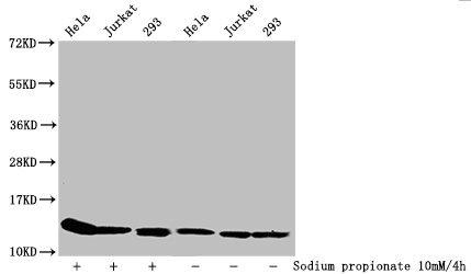 Western Blotting(WB) - Propionyl-HIST1H4A (K31) Antibody