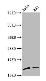 Western Blotting(WB) - Mono-methyl-HIST1H4A (K59) Antibody