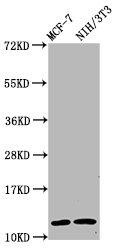 Western Blotting(WB) - HIST1H4A (Ab-77) Antibody
