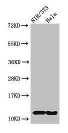 Western Blotting(WB) - HIST1H4A (Ab-3) Antibody