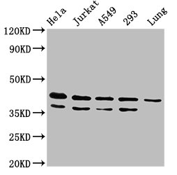 Western Blotting(WB) - MAPK1 Antibody