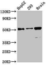Western Blotting(WB) - ZFP57 Antibody