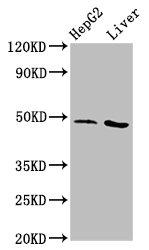 Western Blotting(WB) - APMAP Antibody