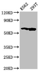 Western Blotting(WB) - FAM83D Antibody