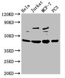 Western Blotting(WB) - PA2G4 Antibody