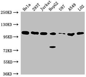 Western Blotting(WB) - ADAR Antibody