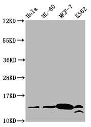 Western Blotting(WB) - Crotonyl-HIST1H2BC (K23) Antibody