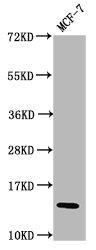 Western Blotting(WB) - HIST1H2BC (Ab-23) Antibody