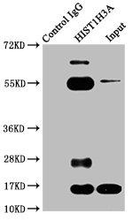 Immunoprecipitation(IP) - Butyrly-HIST1H3A (K23) Antibody