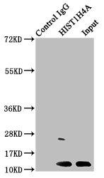 Immunoprecipitation(IP) - HIST1H4A (Ab-5) Antibody