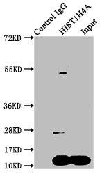 Immunoprecipitation(IP) - HIST1H4A (Ab-8) Antibody